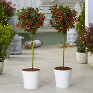 Pair of Premium Quality Festive Holly Trees Covered in Berries with Contemporary White Planters