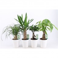 Three Plant Scandinavian Inspired Houseplant Collection in White Pots