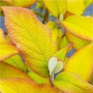 Hydrangea aspera Gold Rush - Golden Velvet Leaf Hydrangea