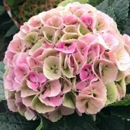 Hydrangea Lily's Blush