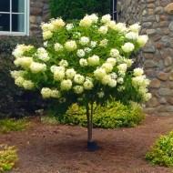 Hydrangea Limelight - 100-120cm Lollipop Standard Tree
