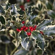 Ilex aquifolium 'Argentea Marginata' - Female Silver Variegated Holly