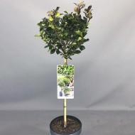 Ilex Blue Prince - Male Holly Tree