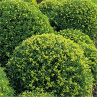 Topiary Ball - Ilex crenata - Dark Green Box leaved Japanese Holly Ball