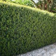 Hardy Box-leaved Hedging - Ilex crenata Green Hedge Plants - Pack of EIGHT