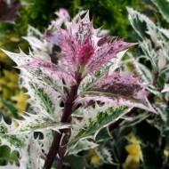 Ilex aquifolium Ingramii - Evergreen Variegated Holly