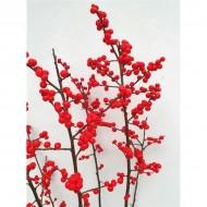 Ilex Verticillata - Winter Berry Holly