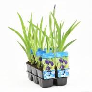 Iris kaempferi - Japanese Water Iris