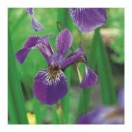 Iris versicolor - Northern Blue Flag
