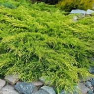 Juniperus x pfitzeriana 'Pfitzeriana Aurea'