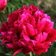 Paeonia Karl Rosenfield - Peony