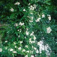 Large 6-7ft Specimen Climbing Rose - Rose filipes Kiftsgate