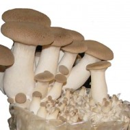 King Oyster Mushroom Grow Kit - Produce your own Tasty Fungi at Home