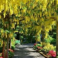 Laburnum anagyroides - Golden Chain Tree - 190-220cm