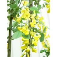 Laburnum anagyroides Fastigiata - 100-120cm Tree