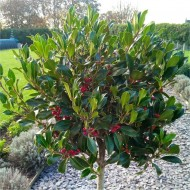 Majestic Large 140-150cm Alaska Holly Tree Standard covered in Berries - Fantastic Gift Idea!