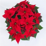 Luxurious 'You are my Christmas Star' Extra Large Poinsettia Plant