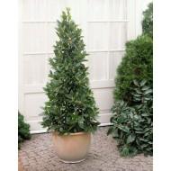 Large Bay Tree Pyramid - Laurus nobilis- Large 160cm Bay