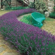 Pack of 24 Fragrant English Lavender Plants - Lavandula Angustifolia