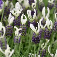 Lavendula stoechas Javelin White - White French Lavender - Lavendula