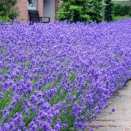 Munstead English Lavender - Lavandula angustifolia 'Munstead'
