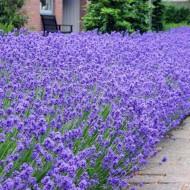 Munstead English Lavender - Lavandula angustifolia 'Munstead' - Pack of THREE Plants