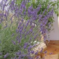 Lavender x intermedia 'Phenomenal' Niko Lavandula - Super Hardy Blue Lavender