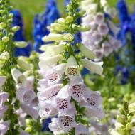 Digitalis purpurea Camelot Lavender - Foxgloves