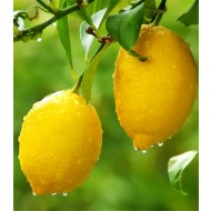 Large Citrus Tree - Fruiting & Flowering Lemon Tree - 120-140cms - Perfect for a G&T!