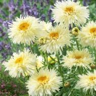 Leucanthemum Sunshine Mixture - Pack of TEN
