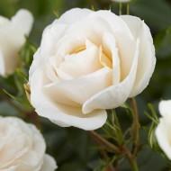 Rose Lion's Rose