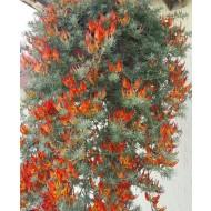 Lotus corniculatus - Large Cascading Fire Vine