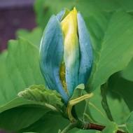 Magnolia acuminata Blue Opal - Blue Budded Tulip Tree