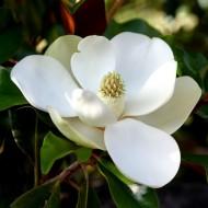 Magnolia grandiflora Little Gem - Compact Evergreen Magnolia - Bull Bay