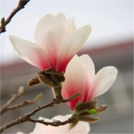 Magnolia New Pink - New, Rare Tulip Tree with Soft Pink Blush Flowers