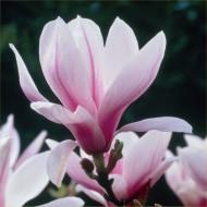 Magnolia Soulangeana - Tulip Tree