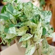 Epipremnum Marble Queen - Pothos