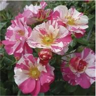 Rose Mind Games - Bush Rose