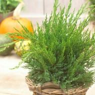 Juniperus x pfitzeriana Mint Julep