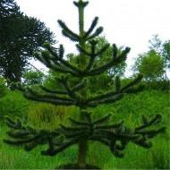 Monkey Puzzle Tree - Araucaria Araucana - Monkey Puzzle Tree - Large