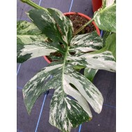 LARGE - Monstera deliciosa variegata - Variegated Swiss Cheese Plant
