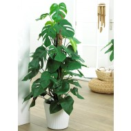 Monstera deliciosa - LARGE 100-120cms - Swiss Cheese Plant on Mosspole