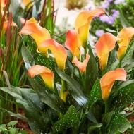 Zantedeschia Morning Sun - Calla Lily - Pack of TEN Bare root