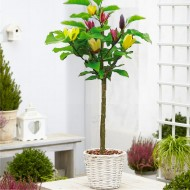 Large 4-5ft Magnolia Multi-Colour - Double Colour Tulip Tree