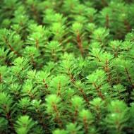 Myriophyllum red stem