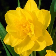 Daffodil - Narcissus Golden Ducate - Double