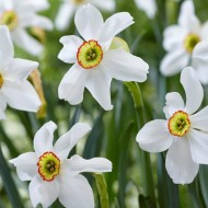 Daffodil - Narcissus Poeticus Recurvus