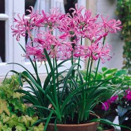 Nerine bowdenii - Guernsey Lily - Pack of 12