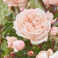 Large 6-7ft Specimen Climbing Rose - New Dreams