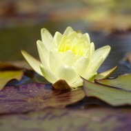 Nymphaea 'Marliacea Chormat.' - Water Lily